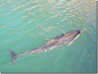 dolphin 004